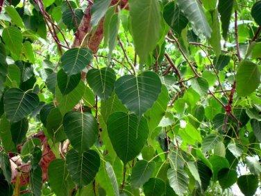 Peepal-Tree